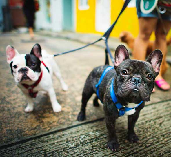 french-bulldogs-cropped